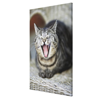A cat yawning, Sweden. Canvas Print