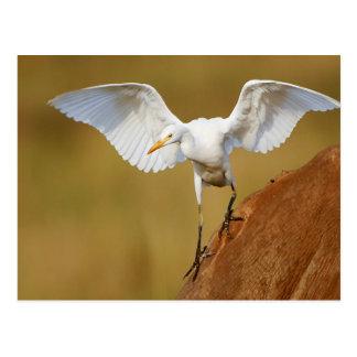 A Cattle Egret (Bubulcus Ibis) Descends Postcard