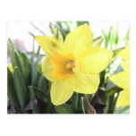 A Cheerful Yellow Daffodil Postcard