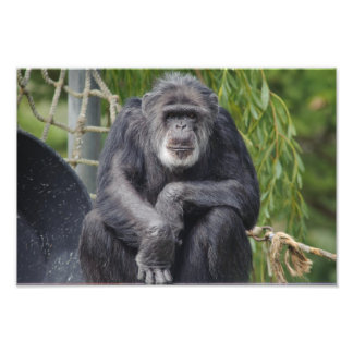 A Chimpanzee Sitting and Staring Photo