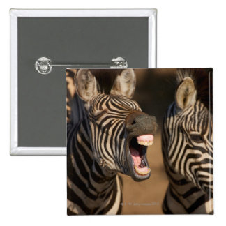 A close-up of a Zebra showing its teeth, 15 Cm Square Badge