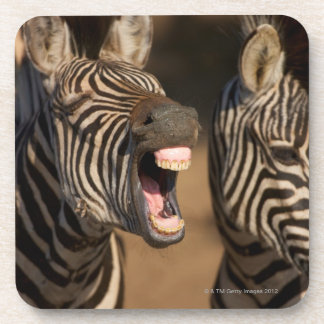 A close-up of a Zebra showing its teeth, Coaster