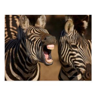 A close-up of a Zebra showing its teeth, Postcard