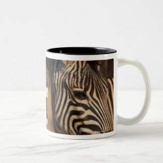 A close-up of a Zebra showing its teeth, Two-Tone Coffee Mug