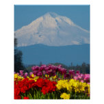 a compressed view of Mt Hood, Oregon and tulip