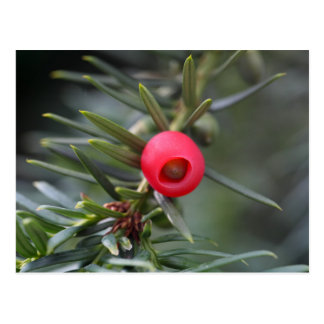 A cone of a yew (Taxus baccata) Postcard