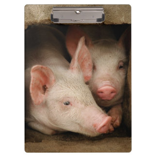 A couple of curious piglets stick their heads clipboards