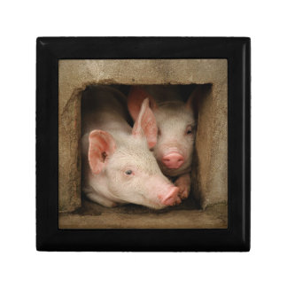 A couple of curious piglets stick their heads gift box