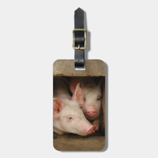 A couple of curious piglets stick their heads luggage tag
