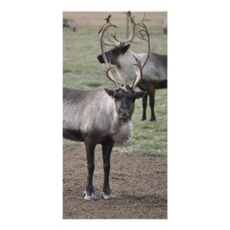 A couple Reindeer in a field on a caribou farm Custom Photo Card