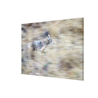 A coyote runs through the hillside blending into stretched canvas print