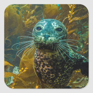 A Curious Harbor Seal Kelp Forest | Santa Barbara Square Sticker
