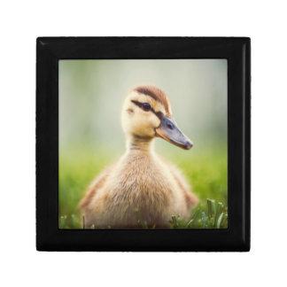 A cute baby mallard ducking sitting small square gift box