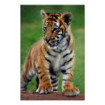 A cute baby tiger cub poster