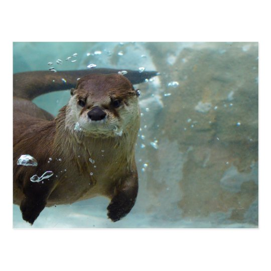 A cute Brown otter swimming in a clear