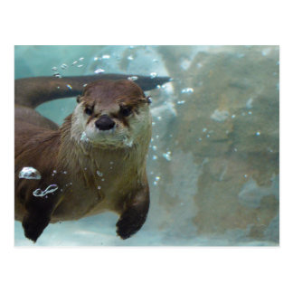 A cute Brown otter swimming in a clear blue pool Postcard