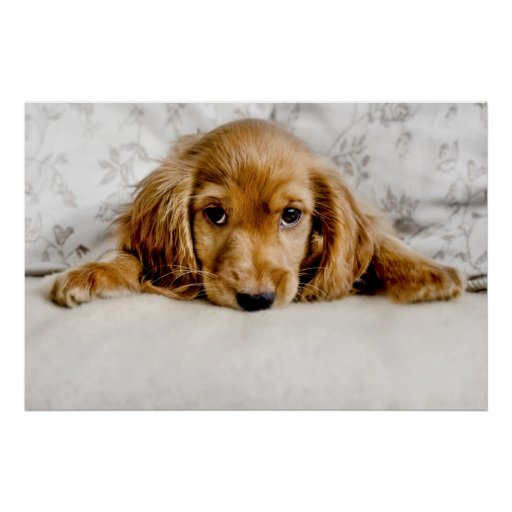 A Cute Cocker Spaniel Poster