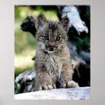 A Cute Little Canadian Lynx Kitten Posters