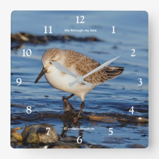 A Cute Little Wandering Sanderling Square Wall Clock