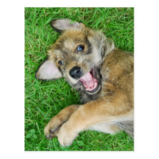 A cutie laughing Berger Picard puppy Postcards
