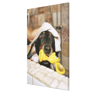 A dachshund being bathed. canvas print