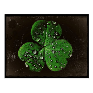 A Dew Covered Shamrock Postcard