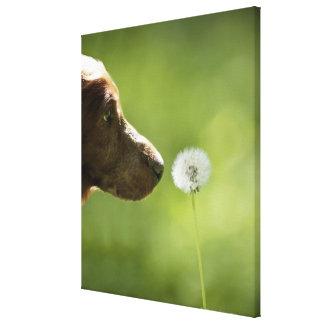 A dog and a dandelion. canvas print