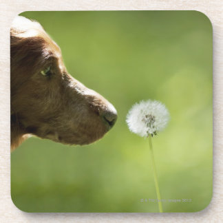 A dog and a dandelion. coaster