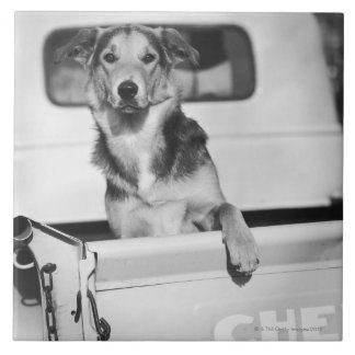 A dog in a car. large square tile