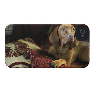 A dog lying on pillows. iPhone 4 Case-Mate cases