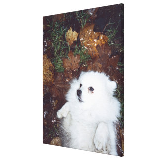 A dog lying on wet autumn leaves. canvas print