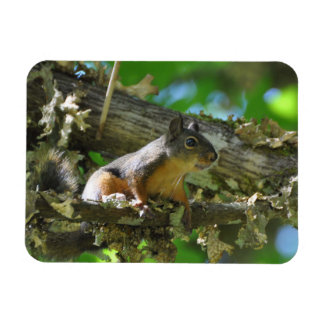 A Douglas Squirrel sitting in a Maple tree Rectangular Photo Magnet