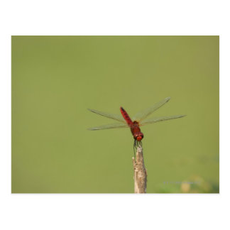 A Dragonfly rests momentarily on a dried weed Postcard