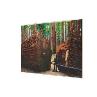 A Fallen Giant, Humboldt State Park Canvas Print