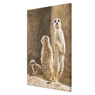 A Family Of Meerkats: Father, Mother And Baby Canvas Print