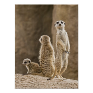 A Family Of Meerkats: Father, Mother And Baby Poster