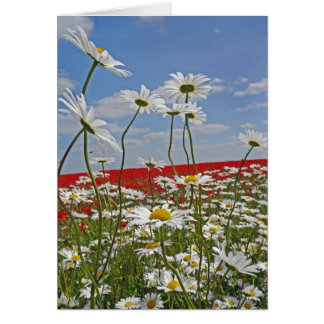 A farmland field of white ox-eyed daisies and 2 card