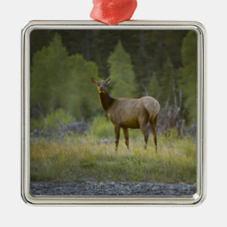 A female elk stands looking at the camera with a christmas ornament