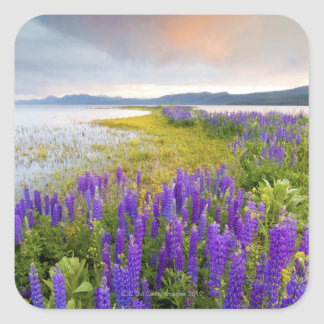 A field of Lupine wildflowers on the North Shore Square Sticker