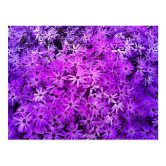 A field of Purple and Pink Daisies Postcard