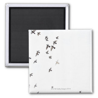 A flock of birds is flying at the sky square magnet