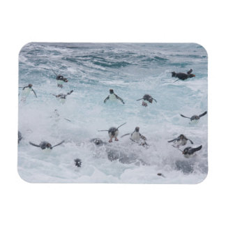 A flock of Rockhopper penguins launch out of the Magnet