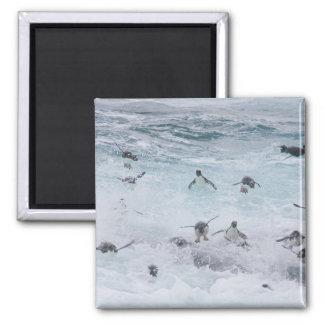 A flock of Rockhopper penguins launch out of the Fridge Magnets