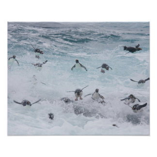 A flock of Rockhopper penguins launch out of the Poster