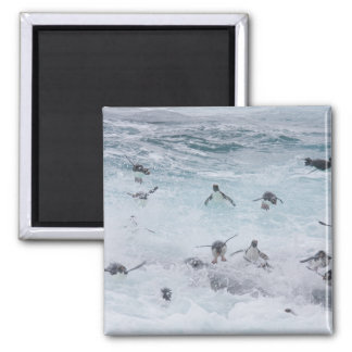 A flock of Rockhopper penguins launch out of the Square Magnet