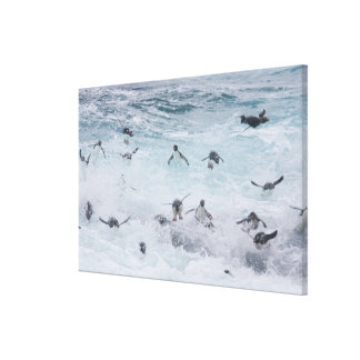A flock of Rockhopper penguins launch out of the Stretched Canvas Print