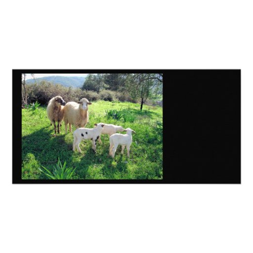 A Flock of Sheep Photo Card