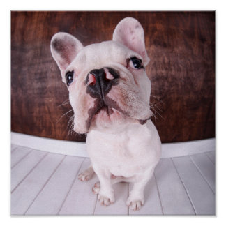 A French Bulldog Puppy Poster