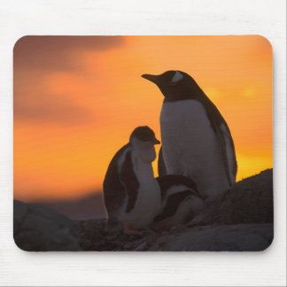 A gentoo penguin adult and chick are silhouetted mouse mat