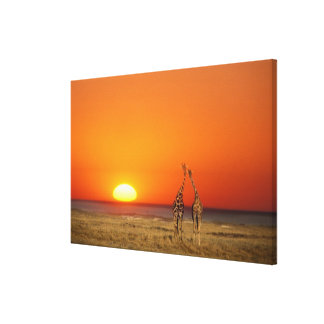 A Giraffe couple walks into the sunset, in Stretched Canvas Print